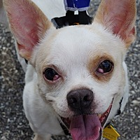 French Bulldog/Chihuahua Mix Dog for adoption in Southeastern, Pennsylvania - Jordy