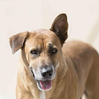Shepherd (Unknown Type) Mix Dog for adoption in Lithia, Florida - Lucy - 16