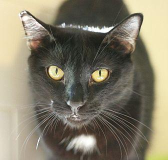 Domestic Shorthair Cat for adoption in Canoga Park, California - Kipling