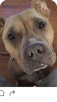 Pit Bull Terrier Mix Dog for adoption in Wichita Falls, Texas - Diamond