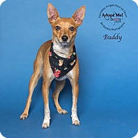 Adopt A Pet :: Buddy - Houston, TX