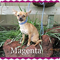 Adopt A Pet :: Magenta - Shawnee Mission, KS
