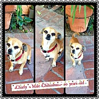 Chihuahua Dog for adoption in Fullerton, California - Charley