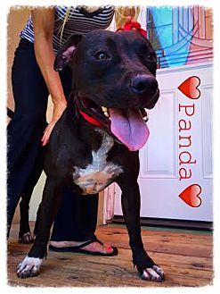 American Staffordshire Terrier/American Bulldog Mix Dog for adoption in Dana Point, California - Panda