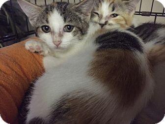 Calico Kitten for adoption in Forest Hills, New York - Lovely