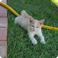 Domestic Mediumhair Cat for adoption in Woodland, California - Charlie