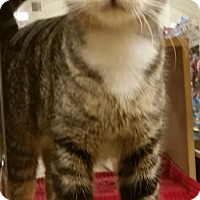 Domestic Shorthair Cat for adoption in North Haven, Connecticut - Nina