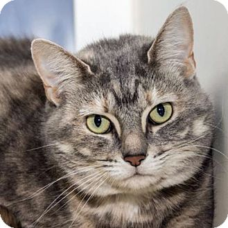 Domestic Shorthair Cat for adoption in Prescott, Arizona - Abbie