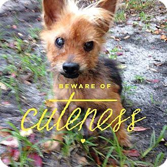 Yorkie, Yorkshire Terrier Mix Dog for adoption in Jacksonville, Florida - Ralphie