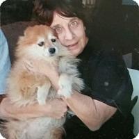 Pomeranian Mix Dog for adoption in Las Vegas, Nevada - Sophie