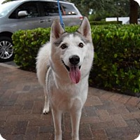 Siberian Husky Dog for adoption in Jupiter, Florida - Grace