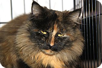 Maine Coon Cat for adoption in Berkeley Hts, New Jersey - Elmora