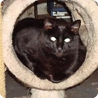 Domestic Shorthair Cat for adoption in bloomfield, New Jersey - Angus