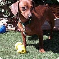 Adopt A Pet :: Lacey - Chandler, AZ