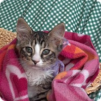 Adopt A Pet :: CATARINA-PetsMart Kitty - Scottsdale, AZ