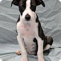 Adopt A Pet :: Tricia IN CT - East Hartford, CT
