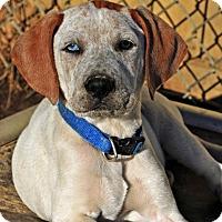 Adopt A Pet :: Boyle - Pleasant Plain, OH