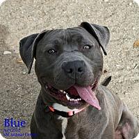 Adopt A Pet :: Blue - Santa Maria, CA