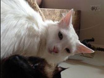 Domestic Longhair Cat for adoption in Bonita Springs, Florida - Enzo