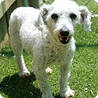 Bichon Frise Dog for adoption in Memphis, Tennessee - Penny
