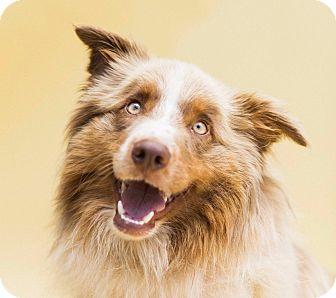 Australian Shepherd Dog for adoption in Cincinnati, Ohio - Lakota