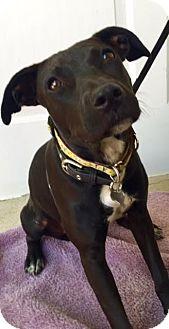 Labrador Retriever/Terrier (Unknown Type, Medium) Mix Dog for adoption in Detroit, Michigan - Lonni-Adopted!