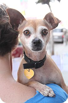 Miniature Pinscher/Chihuahua Mix Dog for adoption in Los Angeles, California - Cleopatra