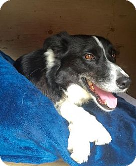 Border Collie Dog for adoption in Freeport, Florida - Faye