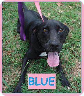 Labrador Retriever Dog for adoption in Batesville, Arkansas - Blue