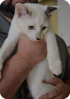Domestic Shorthair Kitten for adoption in Danbury, Connecticut - Augustus