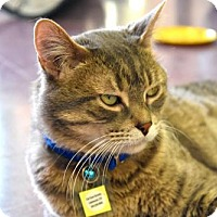 Domestic Shorthair Cat for adoption in Lakewood, Colorado - Rigby