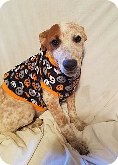 Australian Cattle Dog Mix Puppy for adoption in Manchester, New Hampshire - Beauty