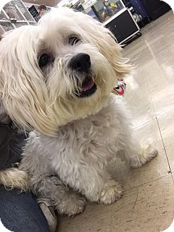 Lhasa Apso/Shih Tzu Mix Dog for adoption in St John, Indiana - Hannah