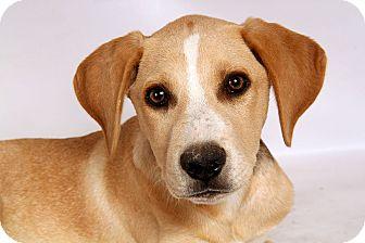 Labrador Retriever/Border Collie Mix Puppy for adoption in St. Louis, Missouri - Zag Lab BC