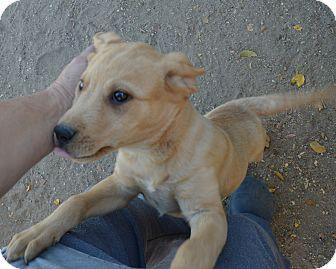 Labrador Retriever Mix Puppy for adoption in Peyton, Colorado - Connor