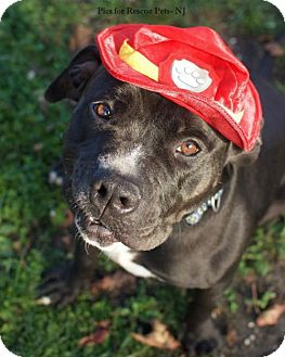 Pit Bull Terrier/Labrador Retriever Mix Dog for adoption in Spring Lake, New Jersey - Mitch