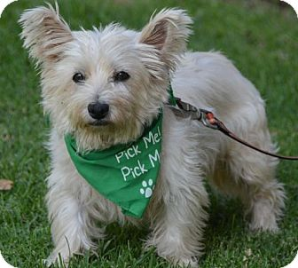 Westie, West Highland White Terrier Mix Dog for adoption in Marina Del Ray, California - IRIS