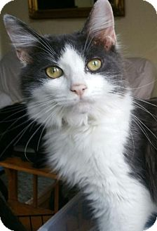 Maine Coon Cat for adoption in Grand Ledge, Michigan - Jilve