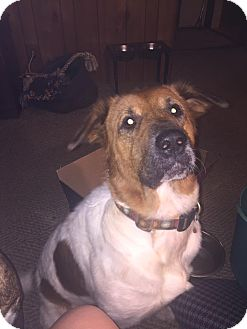 German Shepherd Dog/Spaniel (Unknown Type) Mix Dog for adoption in Allentown, Pennsylvania - Bella Boo - Holiday Special!