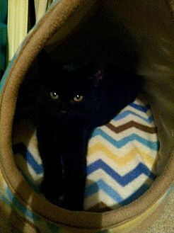 Domestic Shorthair Kitten for adoption in Philadelphia, Pennsylvania - Peter