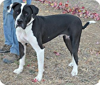 American Pit Bull Terrier Mix Dog for adoption in Yreka, California - Charlie