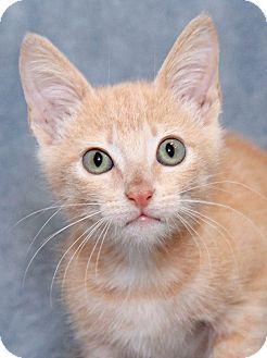 Domestic Shorthair Kitten for adoption in Encinitas, California - Jellyfish