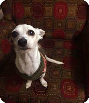 Chihuahua Dog for adoption in Mission, Kansas - Joey