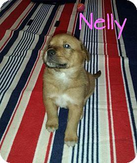 Labrador Retriever Mix Puppy for adoption in Raleigh, North Carolina - Nelly