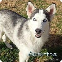 Adopt A Pet :: Absinthe - Carrollton, TX