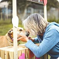 Labrador Retriever/Jindo Mix Dog for adoption in Ventura, California - Ariel