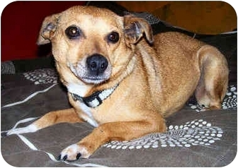 Annabelle Adopted Dog Latrobe Pa Chihuahua Feist Mix