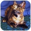 Photo 2 - Domestic Shorthair Kitten for adoption in Encinitas, California - Cinnamon