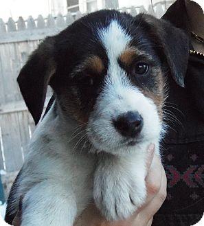| Adopted Puppy | Minneapolis, MN | Australian Shepherd/Beagle Mix