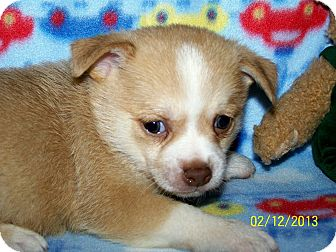 Chihuahua/Pomeranian Mix Puppy for adoption in Sherman, Connecticut - Cupid Betty's Dog